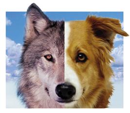 Lee más sobre el artículo Historia del perro, como fue la domesticacion del lobo
