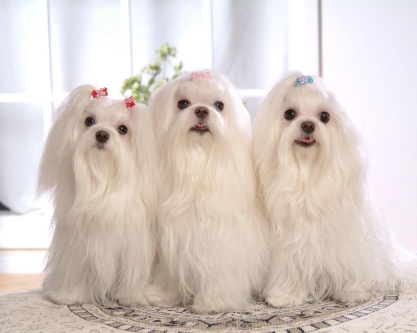 3 bichones maltes cachorros