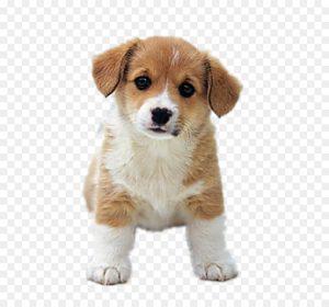Lee más sobre el artículo Las 6 fases del cachorro