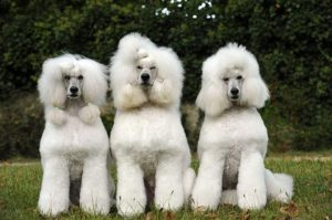 Lee más sobre el artículo Caniche o Poodle Cómo hacer  PASO a PASO