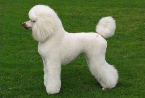corte escandinavo de un poodle blanco en suelo de cesped verde