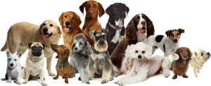 🐶 ¿ Cómo podemos identificar una raza de perro ?