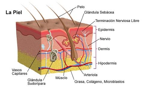 En este momento estás viendo Las funciones de la piel del perro y las lesiones (fotos)