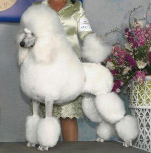 peinado de silla inglesa en un poodle blanco