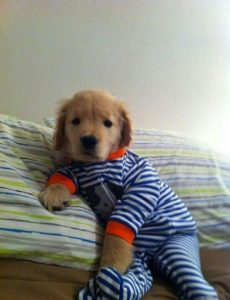 cachorro de golden retriever con pijama de rayas