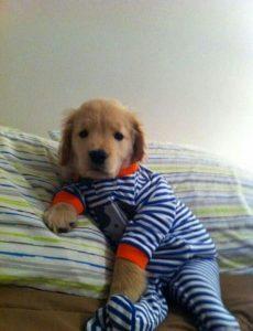 cachorro de golden retriever con pijama de rayas
