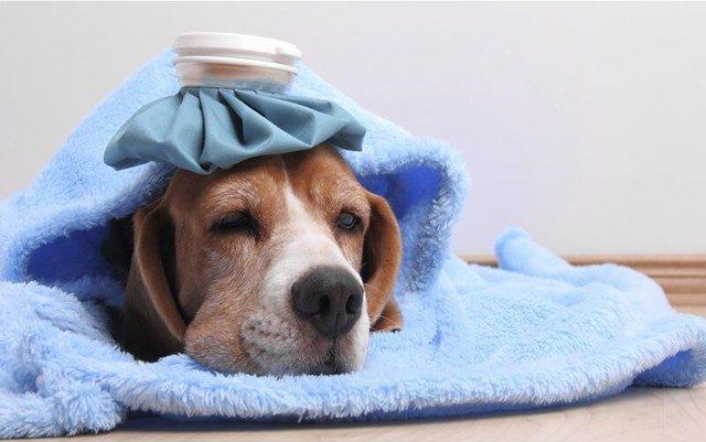 perro enfermo con fiebre