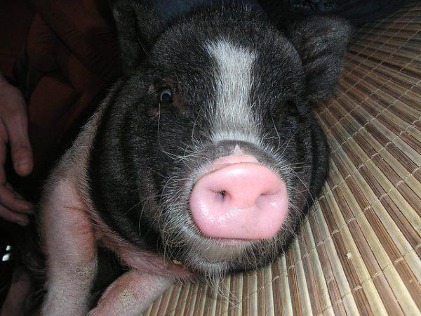 cerdo de color negro tumbado en casa