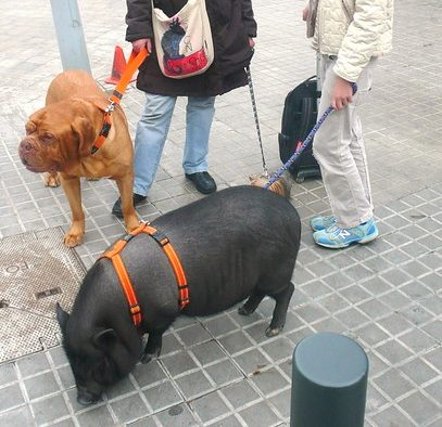 cerdo paseando con correa con perro y niña