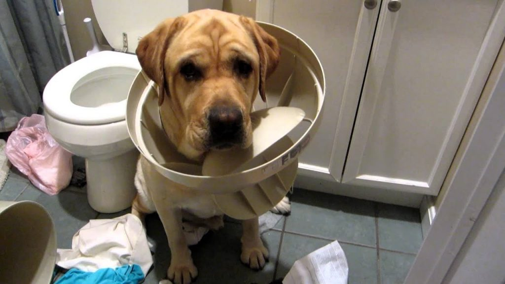perro labrador con travieso con tapa del cubo de la basura