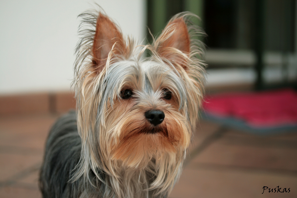 Lee más sobre el artículo Como NO cortar el pelo a un YORKSHIRE y a NINGÚN perro