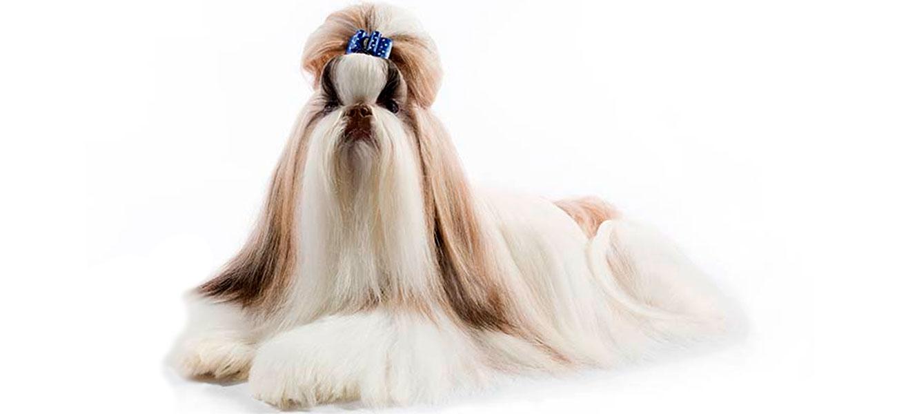 peinado shih tzu liso de raza, perro tumbado