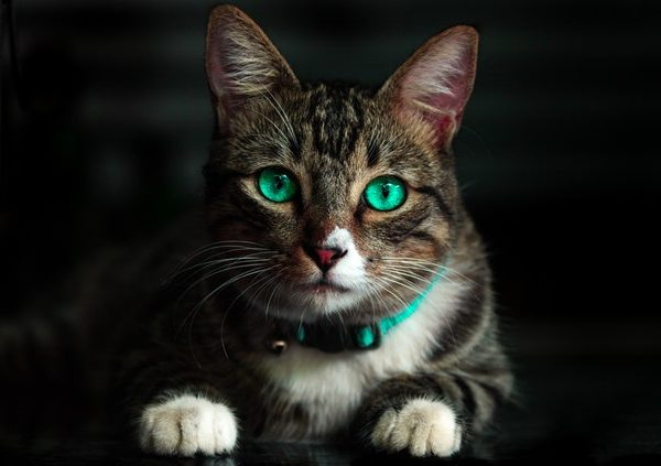 gato tumbado de ojos azules
