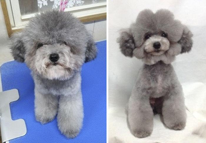 Caniche toy con corte asiático, cabeza de flor