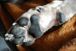 Lee más sobre el artículo Como CORTAR PELO A LAS PATAS a un perro con éxito