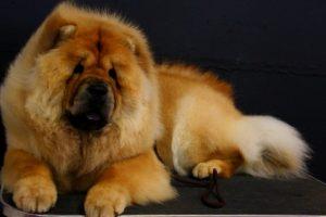 perro chao chao tumbado de color marron