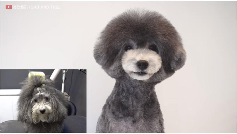 caniche gris corte de pelo estilo asiatico comparacion, antes y despues