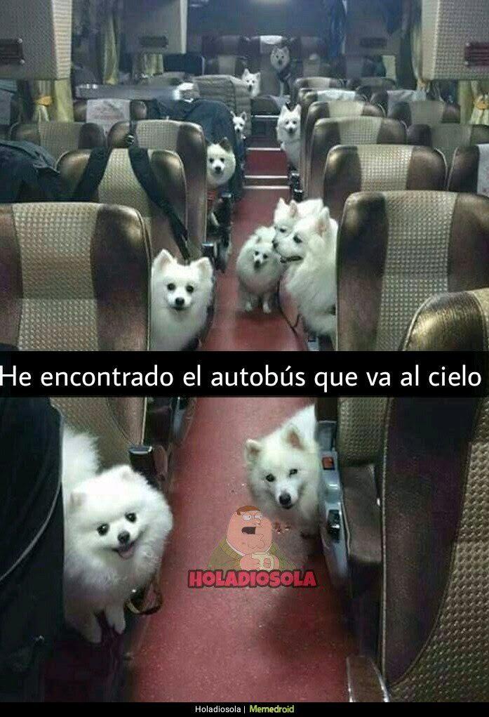 autobus con perros, spitz blancos