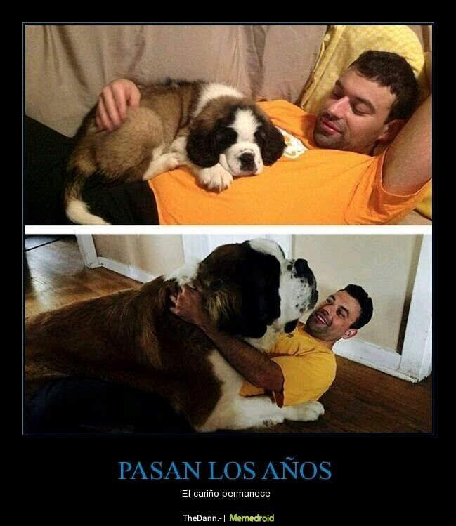 san bernardo, perro antes y ahora