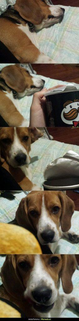 beagle y las patatas pringles