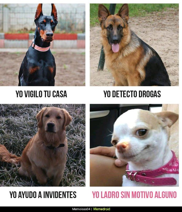 pastor alemna, chichuahua, golden retriever , doberman