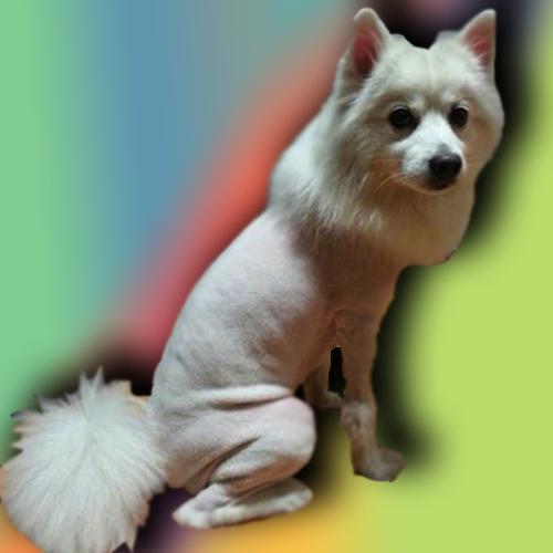 Lee más sobre el artículo ¿Puedo AFEITAR a mi perro para que DEJE de MUDAR?