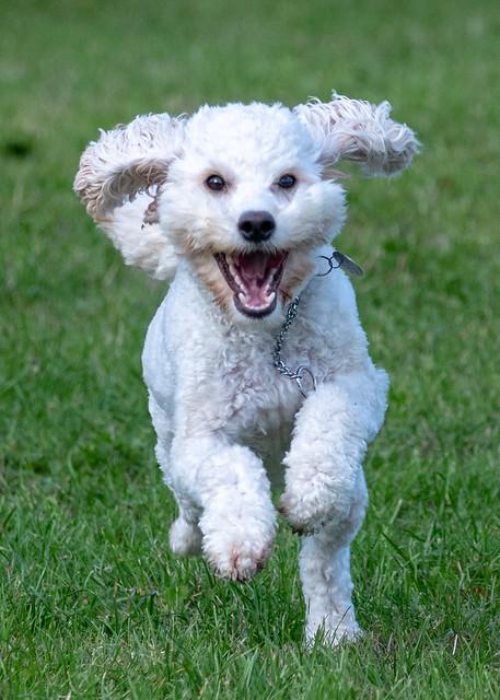 caniche toy blanco corriendo en un prado