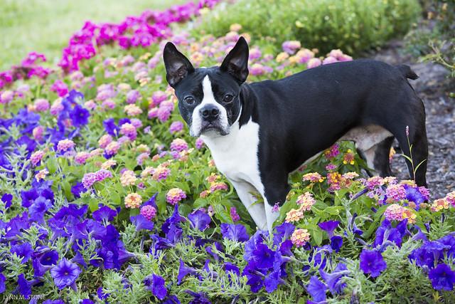 boston terrier blanco y negro en el campo con flores