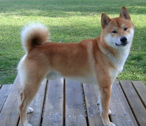 Shiba inu de perfil