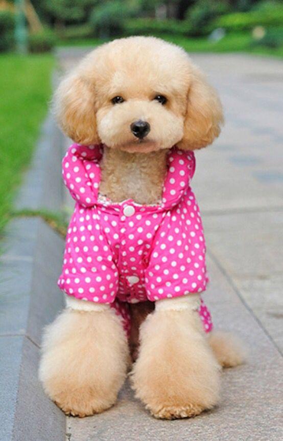 caniche marron con camisa rosa
