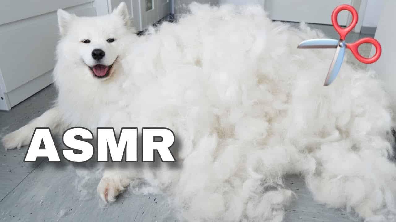 ASMR de peluqueria canina con Mayathepolarbear