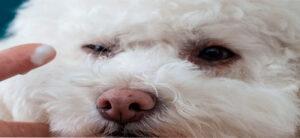 limpieza de ojo de perros blancos con manchas