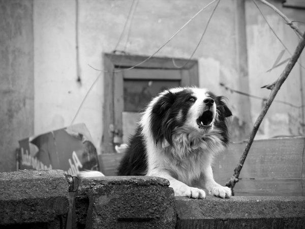 perro ladrando blanco y negro