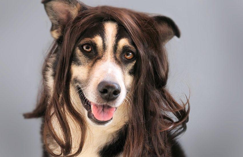 perro con peluca marron