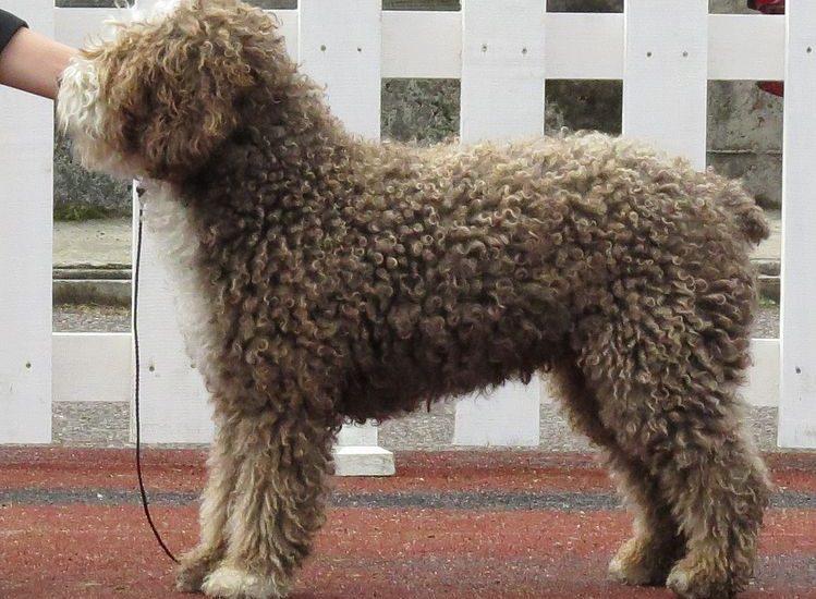 perro de agua español de color marrón en pie