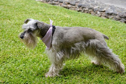 perro schnauzer con pañuelo en un parque