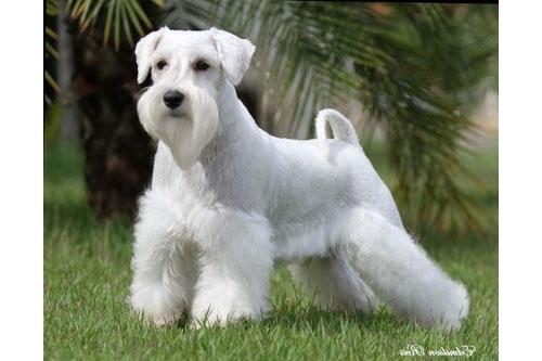 perro schnauzer de color blanco en un parque