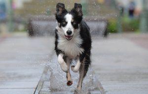 border collie mojado corriendo velozmente