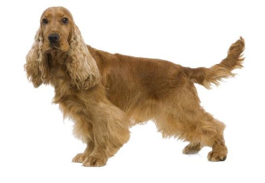 perro de color marron dorado con orejas largas, con corte de raza cocker ingles