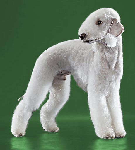 bedlington terrier corte de raza peluqueria canina, de color gris con fondo verde
