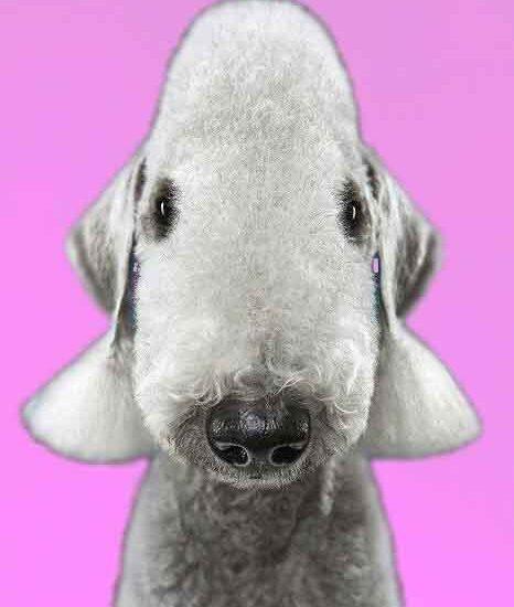 cara de bedlington terrier, peluqueria