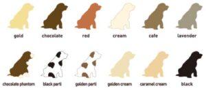 todos los colores del labradoodle