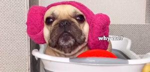Lee más sobre el artículo Este BULLDOG necesita un baño y no le gusta