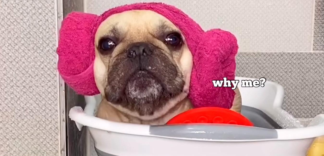Este BULLDOG necesita un baño y no le gusta